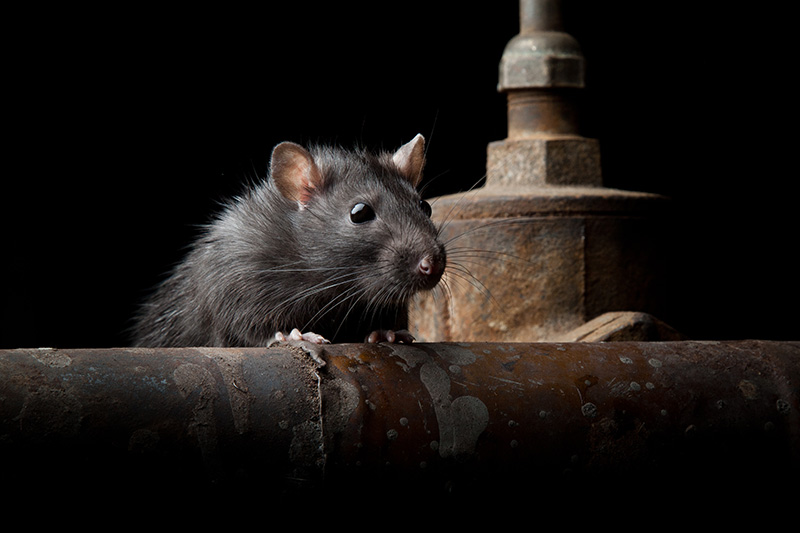 Protect your Property from the Seasonal Rat Invasion